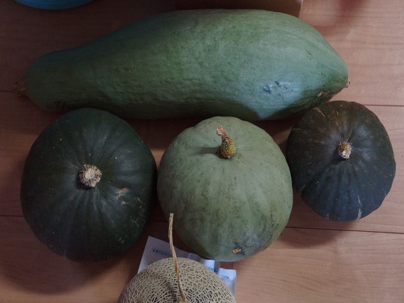 南瓜の収穫