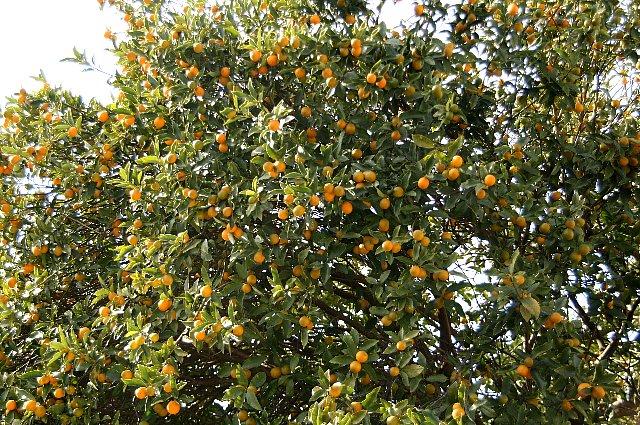 柑橘 キンカン