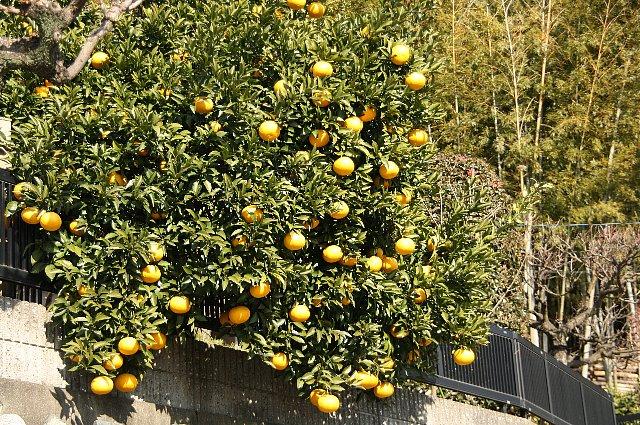 柑橘 夏ミカン