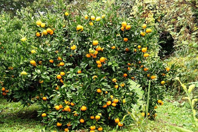 柑橘 ミカン