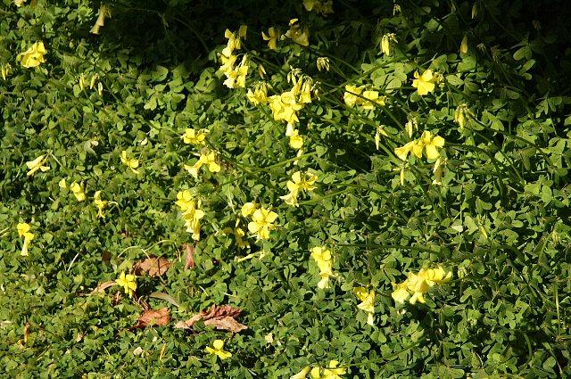 大黄花カタバミ1