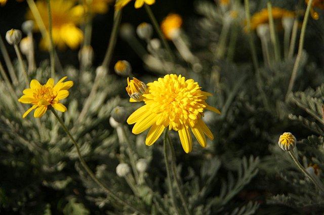 ユリオプスデージー 丁子咲き1