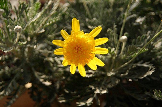 ユリオプスデージー 丁子咲き