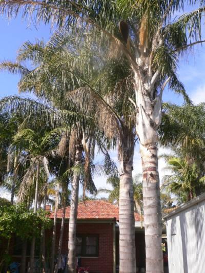 椰子の木、裏