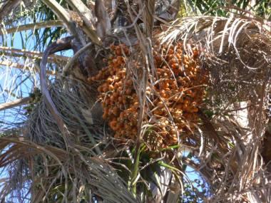 椰子の木に付いた実