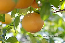 木になっているグレープフルーツ