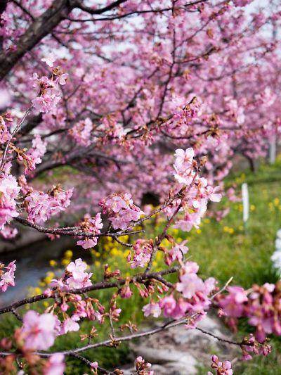 焼津 坂本の河津桜 2015