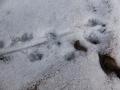 アカネズミの足跡