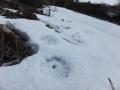 アナグマの足跡