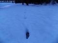 キツネの足跡