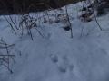 ニホンリスの足跡