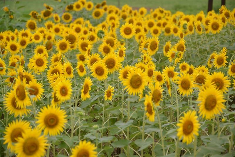 夏の花たち-4