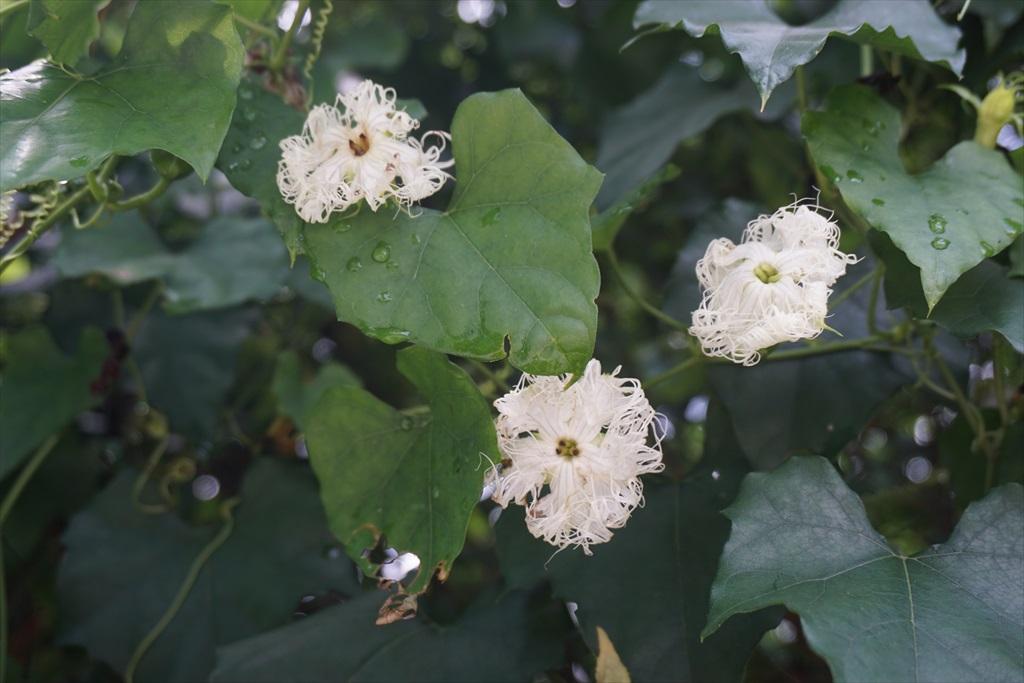 カラスウリとおぼしき花がだいぶ濡れている