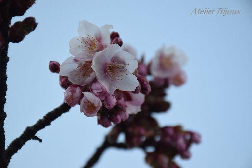 028-寒桜