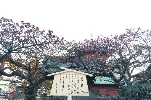 002-寒桜