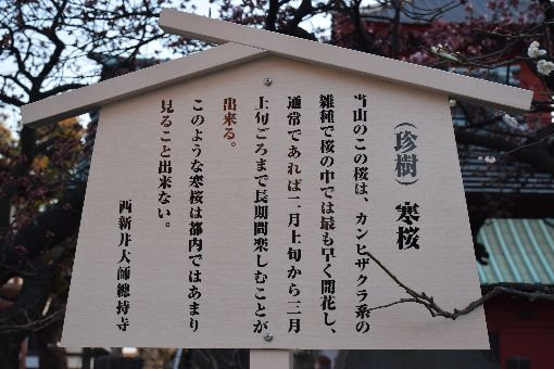 031-寒桜
