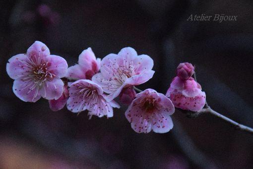 064-一重寒紅梅