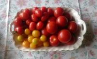 2015トマト
