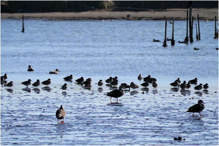 干潟の鴨たち