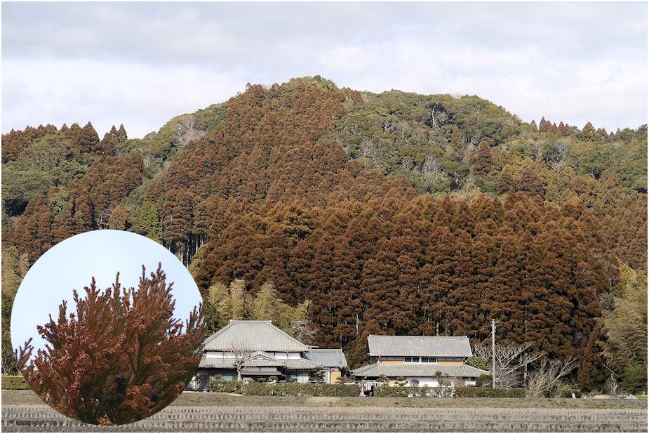 新芽の杉山