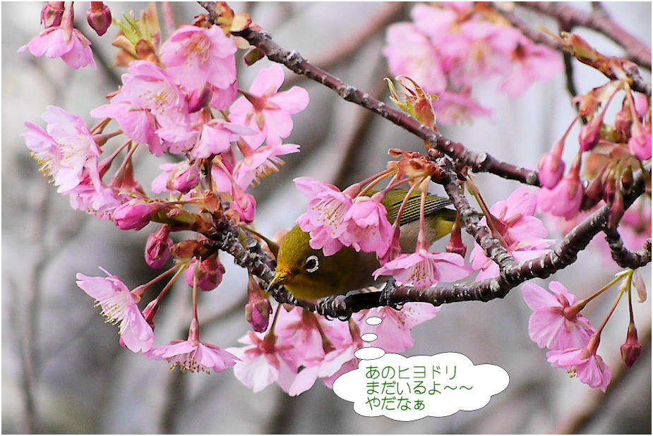 桜でメジロが