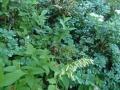 コモチミミコウモリ