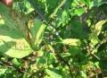 茄子の葉ダニ