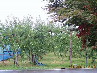 雨のリンゴ園