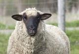 sheep2.jpg