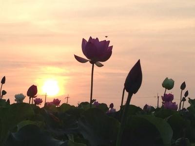 朝陽と蓮の花