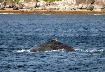 2015.2.6 ザトウクジラ
