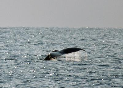 2015.2.6 ザトウクジラ テール