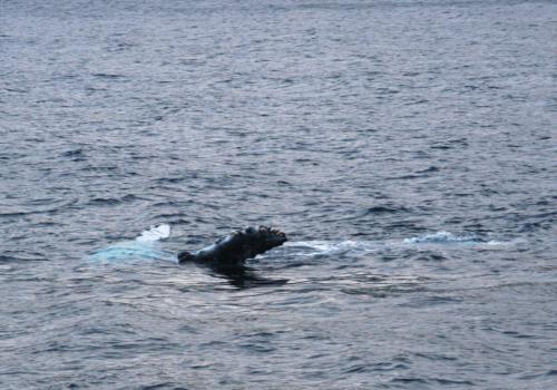 2015.2.15 ザトウクジラ 水面休息