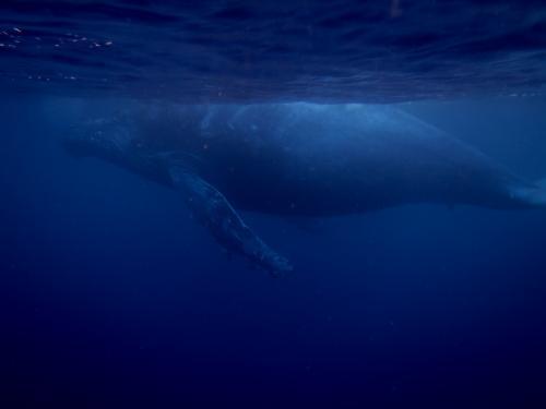 2015.2.15 ザトウクジラ 子供