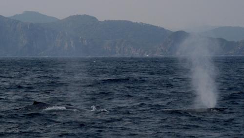 2015.2.17 ザトウクジラ ブロー