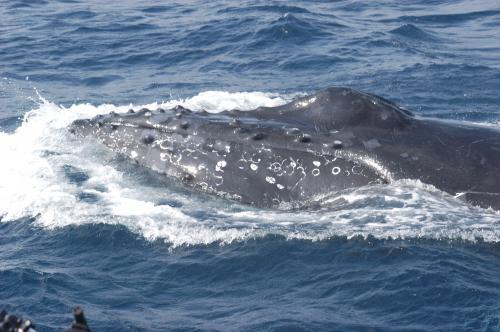 2015.2.17 ザトウクジラ