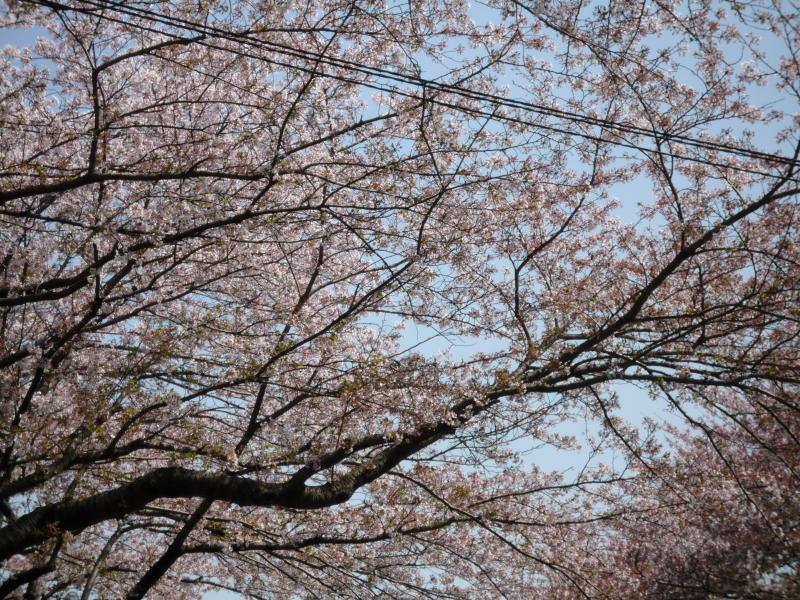 20180401-2-桜