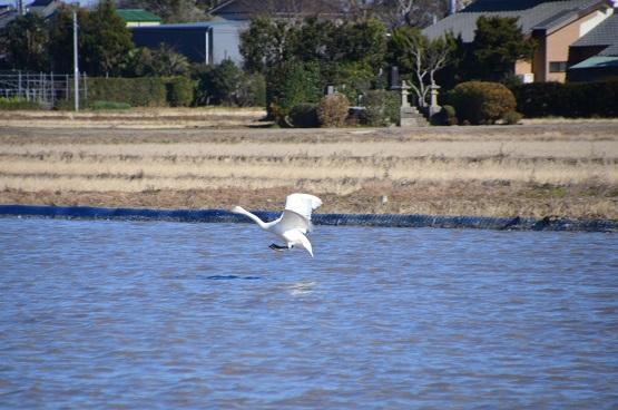 20141223白鳥の郷 (7)