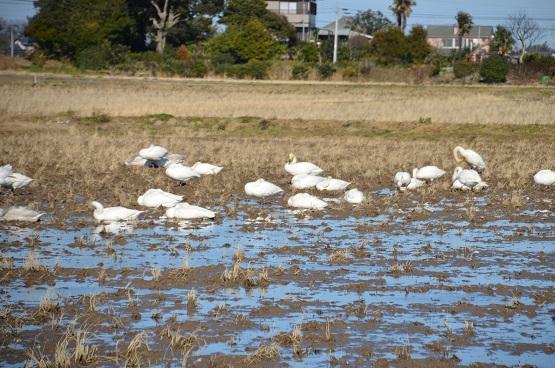 20141223白鳥の郷 (11)