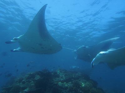 モルディブ バア環礁 マンタ