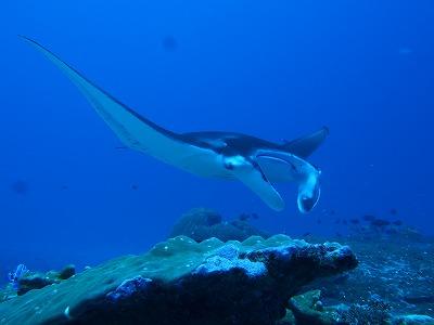 モルディブ アッドゥ環礁 マンタ