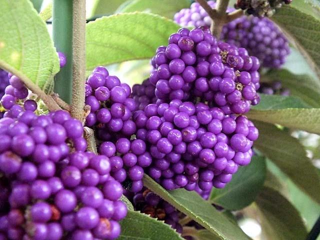 蓬莱紫(紫式部)(61111 byte)