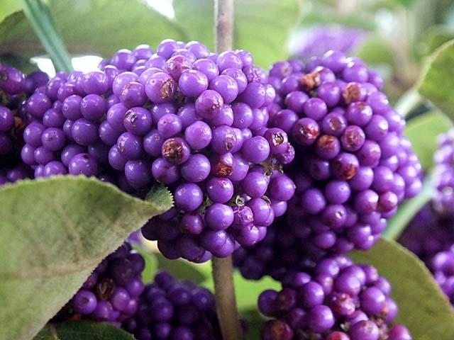 蓬莱紫(紫式部)(55505 byte)