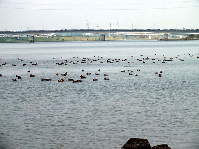 河口堰の野鳥(55960 byte)