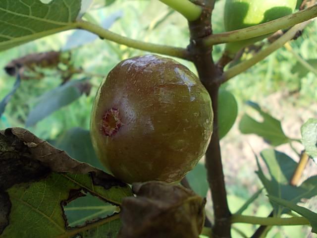Fig, Negro Largo 20150815