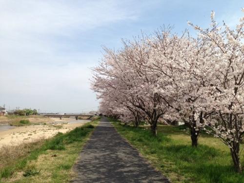 山分桜堤防