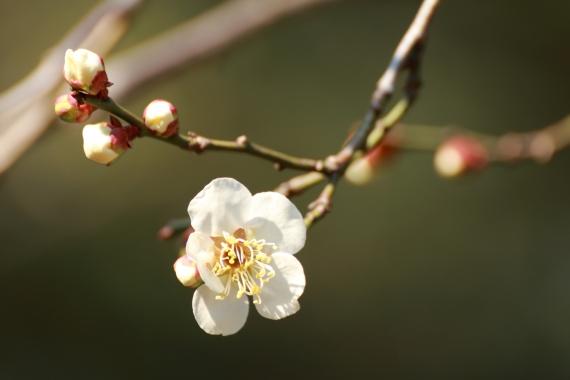 古川庭園の梅ーS