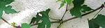 ampelopsis_glandulosa.jpg