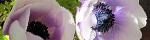 anemone_coronaria.jpg
