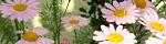 argyranthemum_frutescens.jpg